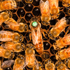 photo of a queen bee with worker bees on a hive