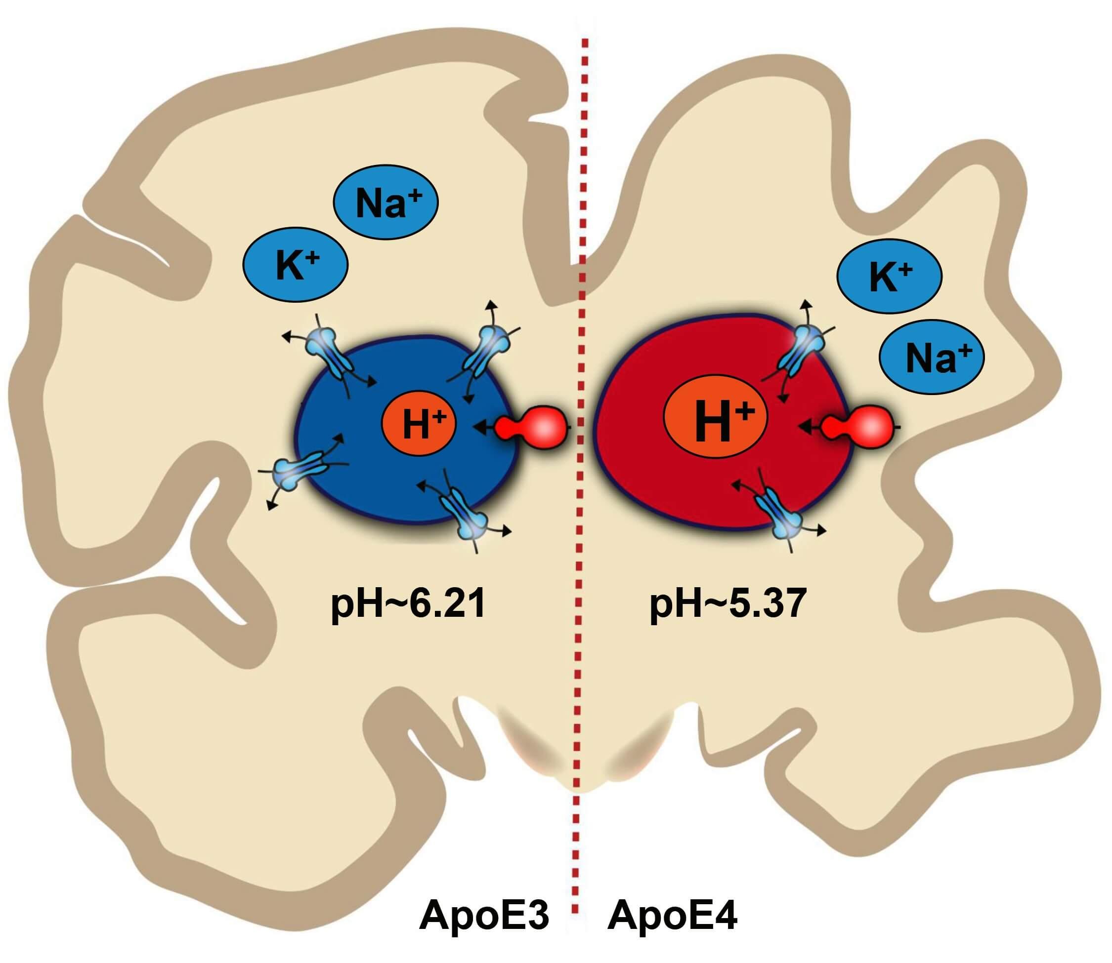 Illustration of pH imbalance inside endosomes