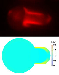 filamin