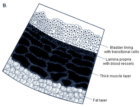 Diagram of the bladder layers