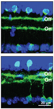 Cell layers in the retina