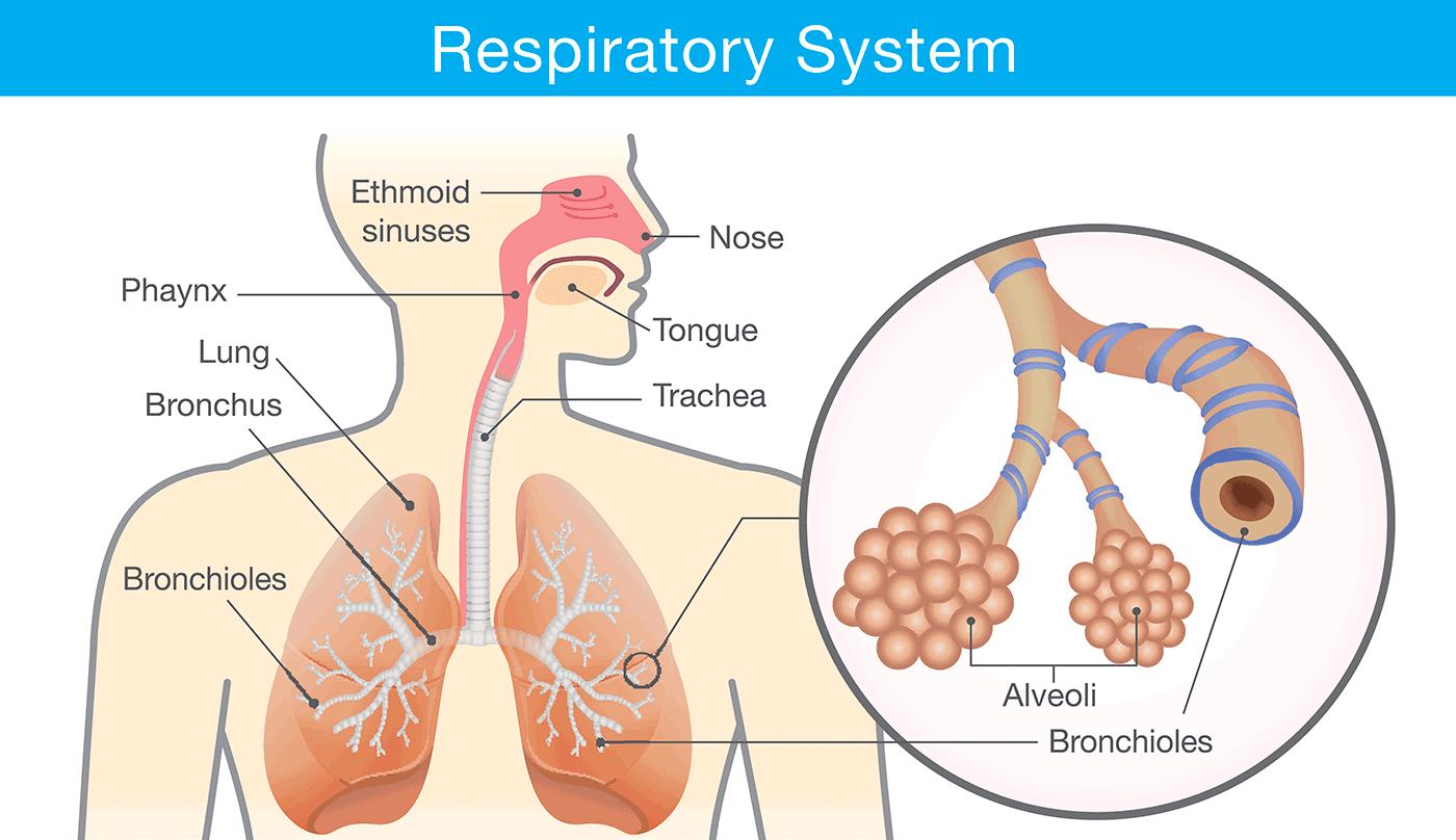 Respiratory system anatomy.