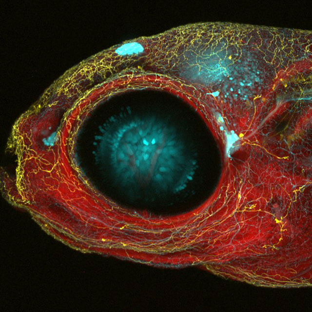 zebrafish eye closeup