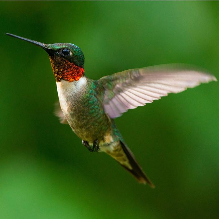 Fueling the Hummingbird's Extreme Biology
