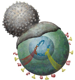 T cell engulfs cell infected with a retrovirus