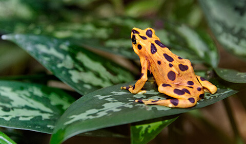 Panamanian golden frog perched on a leaf