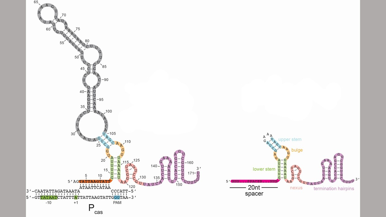 Gene-Editing 'Scissor' Tool May Also be a 'Dimmer Switch'
